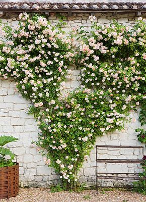 ♕ CHATEAU DU RIVAU, LOIRE VALLEY, FRANCE: ROSE PHYLLIS BIDE TRAINED AS A HEART ON ONE OF THE CHATEAU OUTBUILDINGS
