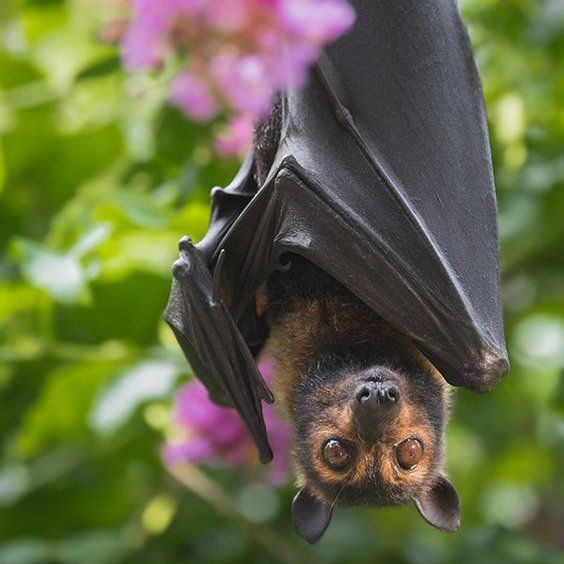 Flying Fox Bat- checking you out!