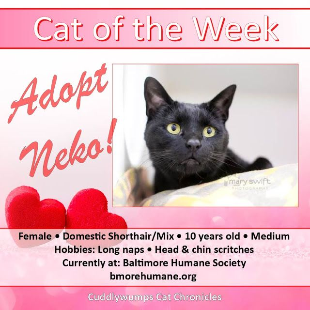 Cat of the Week: Adopt Neko!