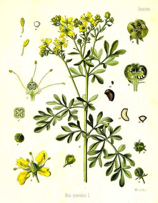 Rutaceae - Ruta graveolens.