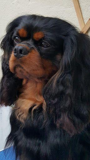 Resultado de imagem para cavalier king charles spaniel black and tan