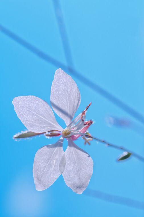 if I could fly 空を飛べたら G+モーニング!(´∀`) そんなガウラの花のつぶやきが聞こえてきそうですね。さて週中サクッとまいりましょう。