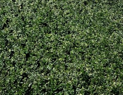 A good choice for smoggy urban areas, English laurel (Prunus laurocerasus) tolerates salt spray, shady sites and gets a favorable fire resistance rating from Cal Poly's Urban Forest Ecosystems ...