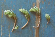 'Bouturer les succulentes' du blog PLAN B de Morganours :)