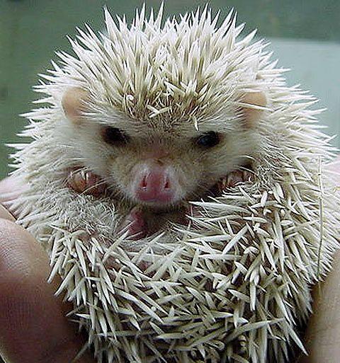 Hedgehog......cute!