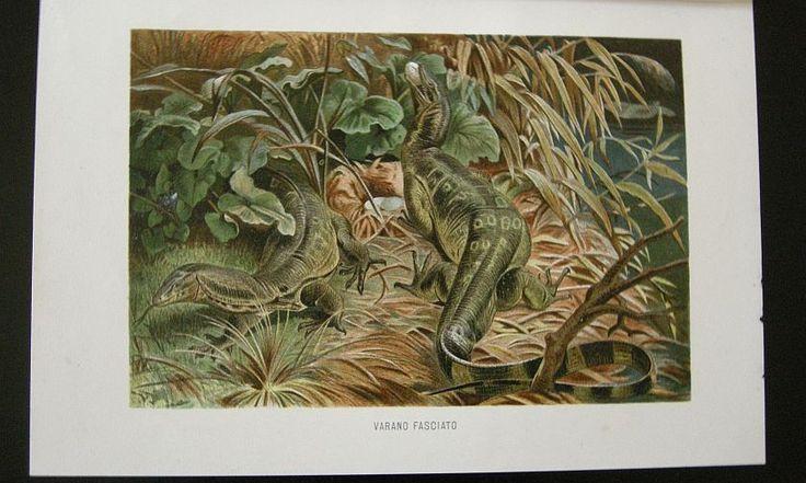 Varano fasciato. s.d. (ma 1900 ca.). Storia natule - Etologia - Animali -  Rettili -  Stampa - Scienza -  -