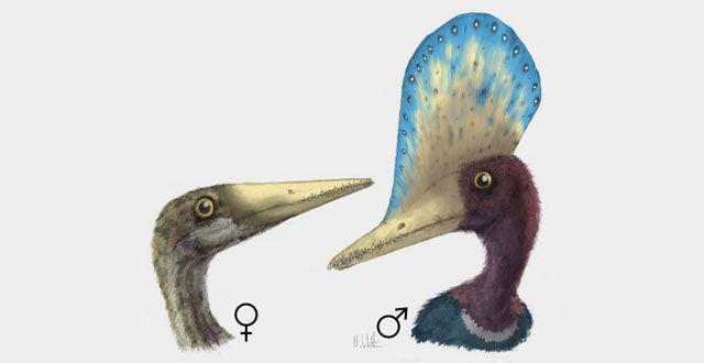 Sexual dimorphism in the pterosaur Darwinopterus (University of Southampton)