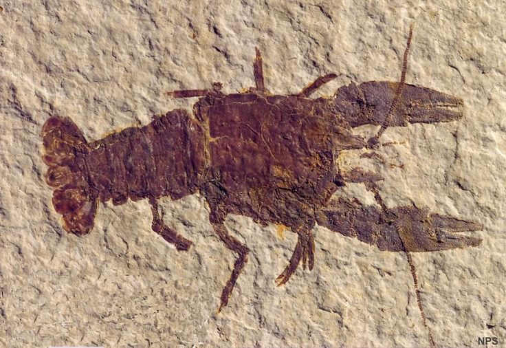 Crayfish lived in the shallow, near-shore water of Fossil Lake. Procambarus is known only from the Eocene deposits of Fossil Lake. Its closest living relative, Austrocambarus, is found in Mexico. National Park Service photo.