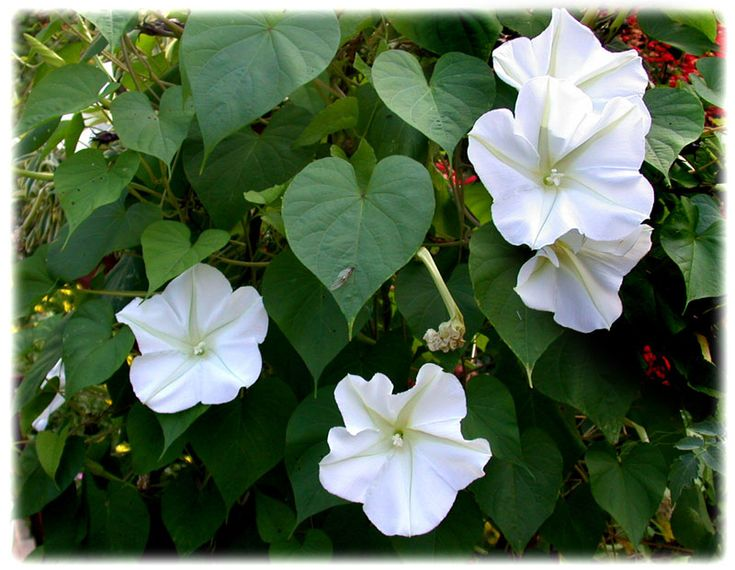 Bush Moon Flower Bushes Get Their Name From Their Night