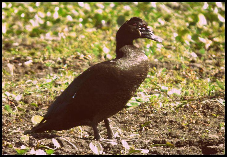 Pato criollo - Esteros del Iberá - Corrientes