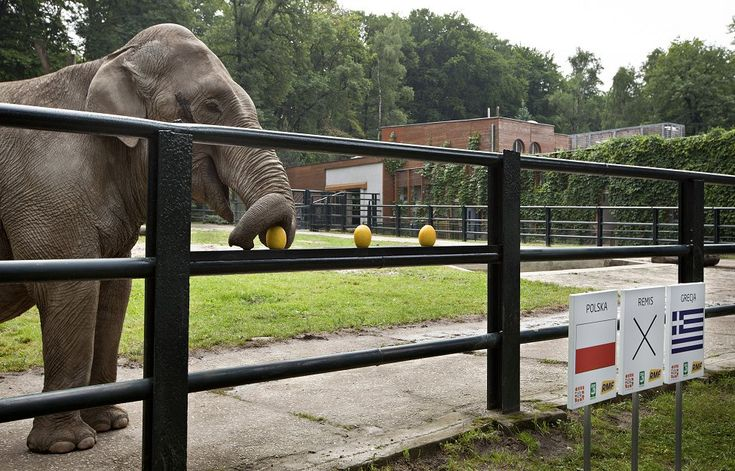 Citta, the elephant from the Krakow Zoo predicts the result of the opening game of the Euro 2012 soccer championships between Poland and Greece, in Krakow.