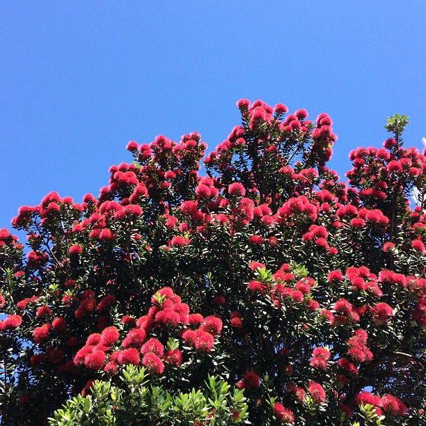 Pohutukawa tree, New Zealand