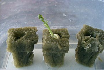 how to grow hydroponics from seeds