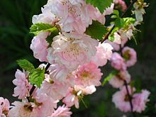 Prunus – Wikipedia