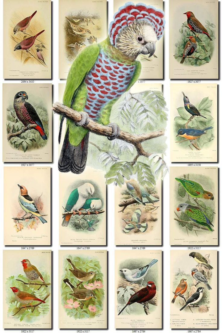 BIRDS-203 Collection of 216 vintage pictures Caique Sugar-bird Whydah Siskin Tanager Duck digital download printable images 300 dpi animal by ArtVintages on Etsy