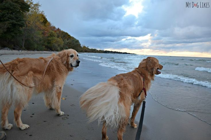 Hiking With Dogs At Durand Eastman Park Golden Retriever Dogs Golden Retriever Hiking Dogs
