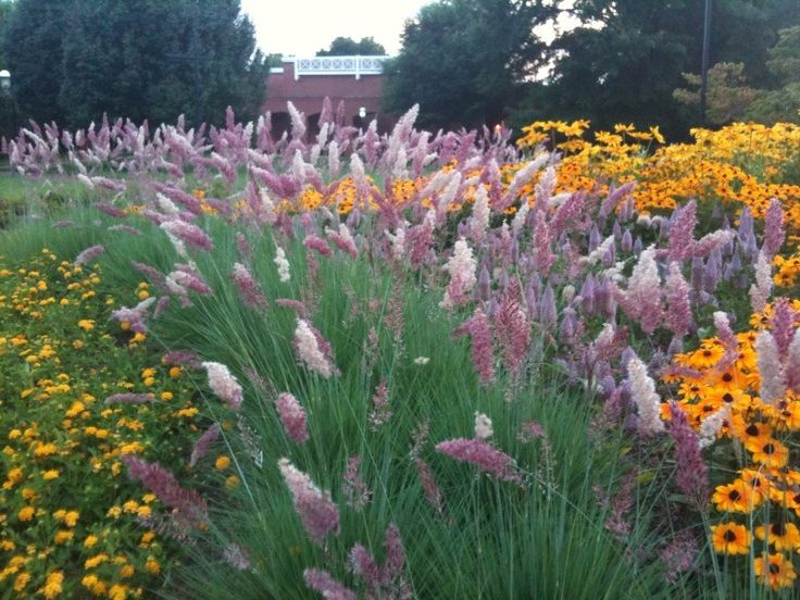 Melinis nerviglumis or pink crystals ruby grass hardy for Hardy tall ornamental grasses