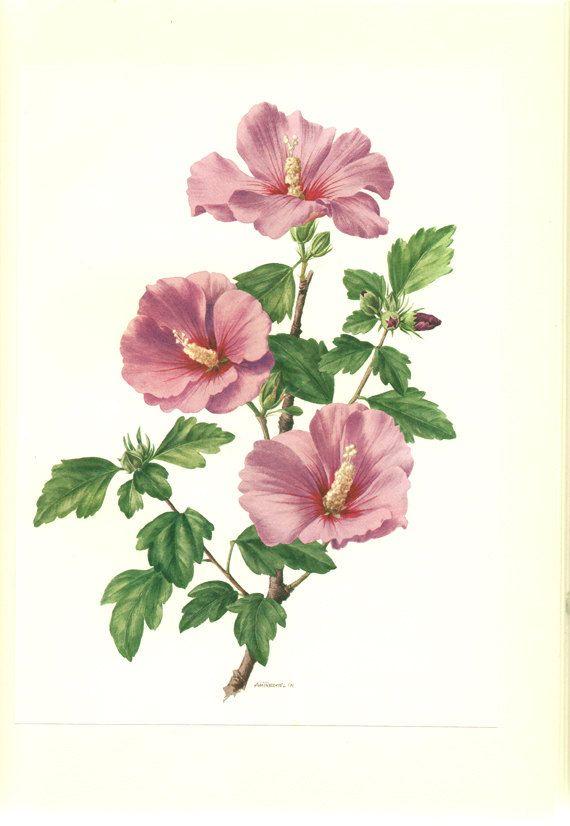1962 Vintage botanical art Hibiscus Syriacus poster Hibiscus art Purple flower print Botanical poster Floral decor flower gift flower poster