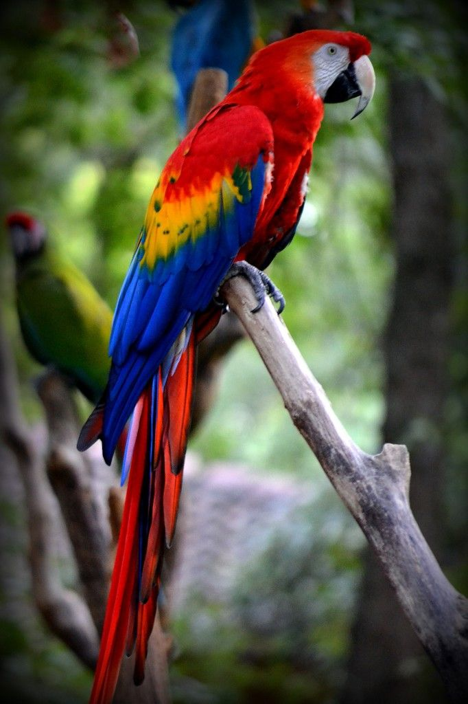 Donner cette belle perroquet ara a Mauleon