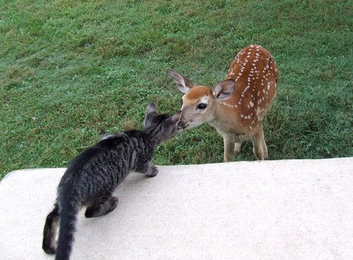 Tabby cat kisses bambiBaby Deer, Cat, Funny Animal Pics, Hilarious Pictures, Sweets Kisses, Friendship, My Friends, Kittens, Kitty