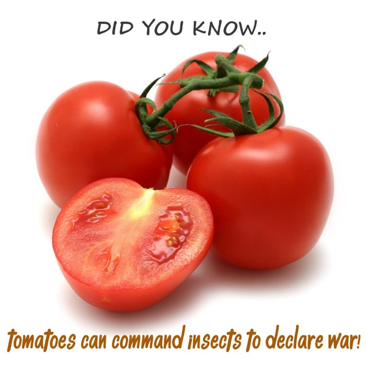 Don't Mess with these Tomatoes - They'll bring out the big Guns!