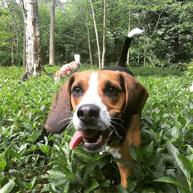 Stanmer Park - the citys largest - is perfect for doggies. And after your walk youre very welcome at Stanmer House! #dogfriendly #beagle #stanmerhouse #proudcountryhouse #lazysunday #dogwalks #countryside #southdowns #nationalpark