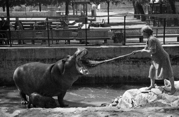 Чистка зубов гиппопотамихе в Московском зоопарке, 1944 — Фотографии из прошлого