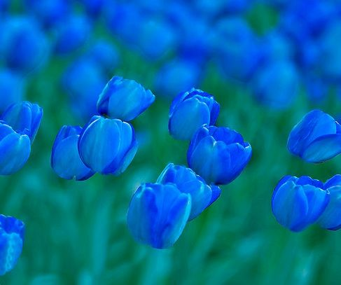 blue tulips - I don't think I've ever seen them in real life, not even at the tulip festival in Orange City, Iowa