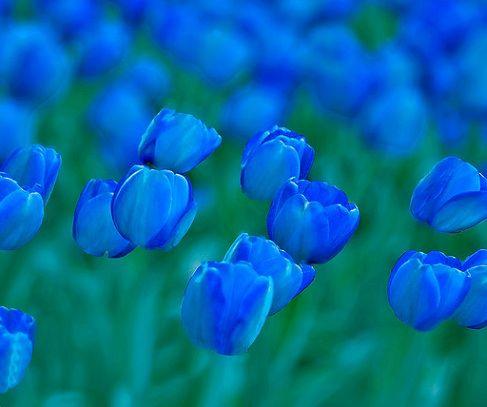 royal blue tulips Quer investir no seu presente??? www.bolosdatialuisa.com/eu