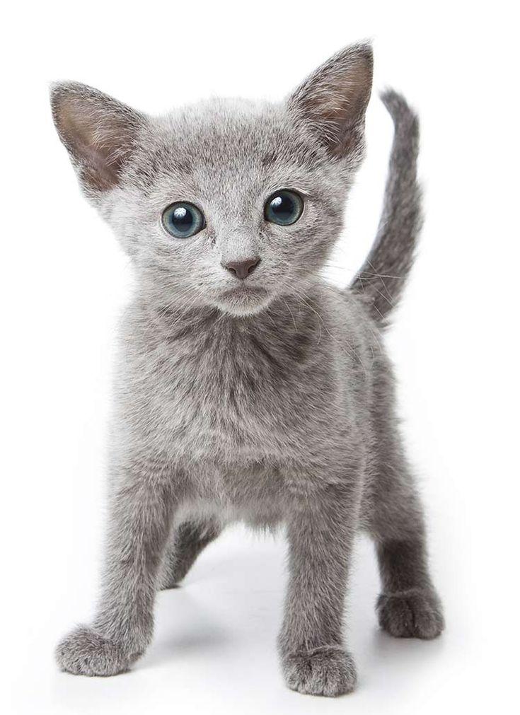 Mèo Russian Blue
