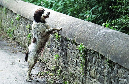 EISTOEPANIDEIN: Μυστήριο! Γιατί έκαναν βουτιές θανάτου 560 σκύλοι από τη γέφυρα;
