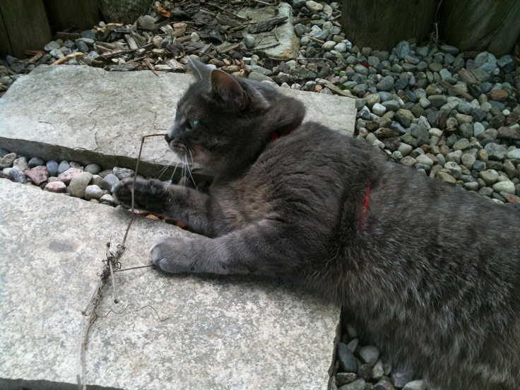 Yes my cat plays with sticks. She goes for walks on a leash too - yes my cat is weird, just like me!!
