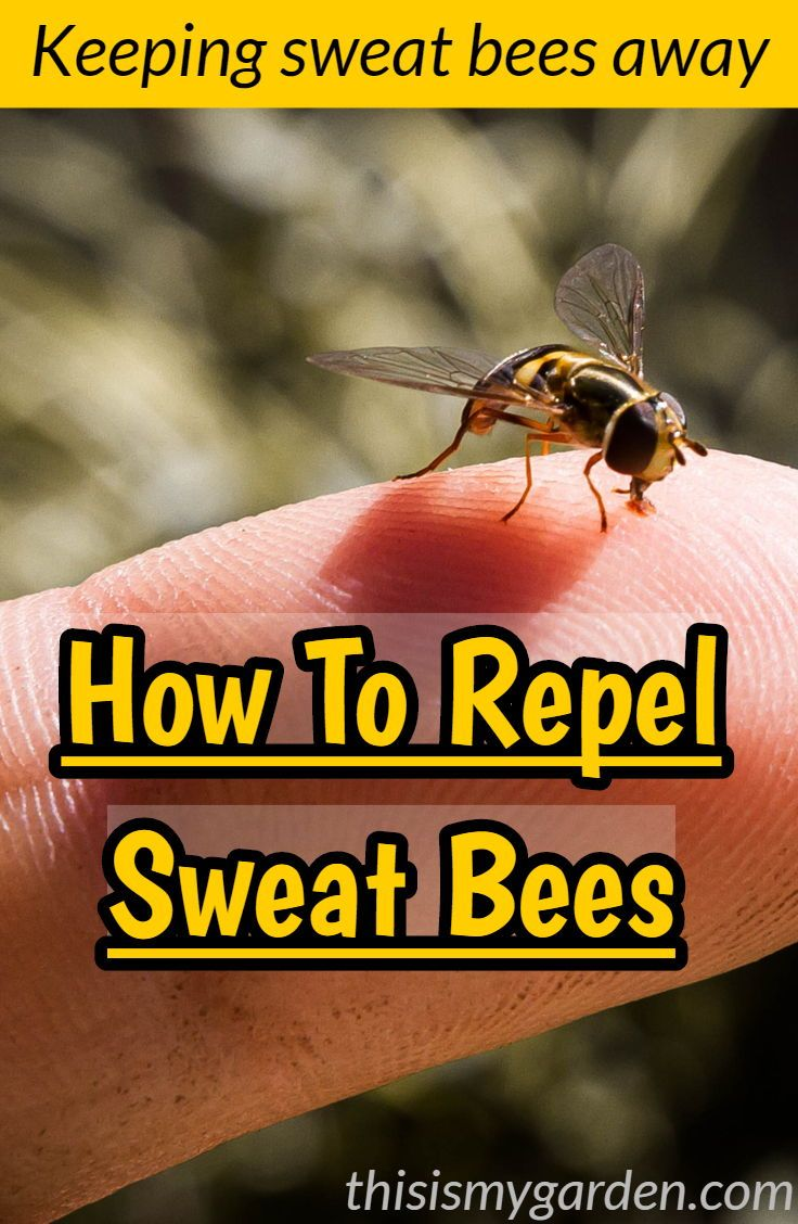 Keeping Sweat Bees Away Tips On How To Repel Sweat Bees Sweatbees Hoverfly Repel Insect Bug Bee Contr Sweat Bees Bee Repellent Remedies For Bee Stings