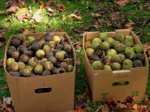 Field Boxed Black Walnuts - Photo by Steve Nix, Licensed to About.com