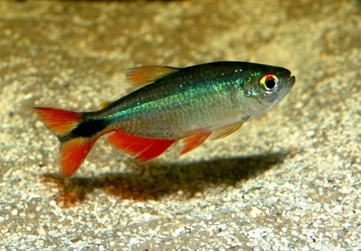 Buenos Aires tetra (hyphessobrycon anisitsi) are found in South ...