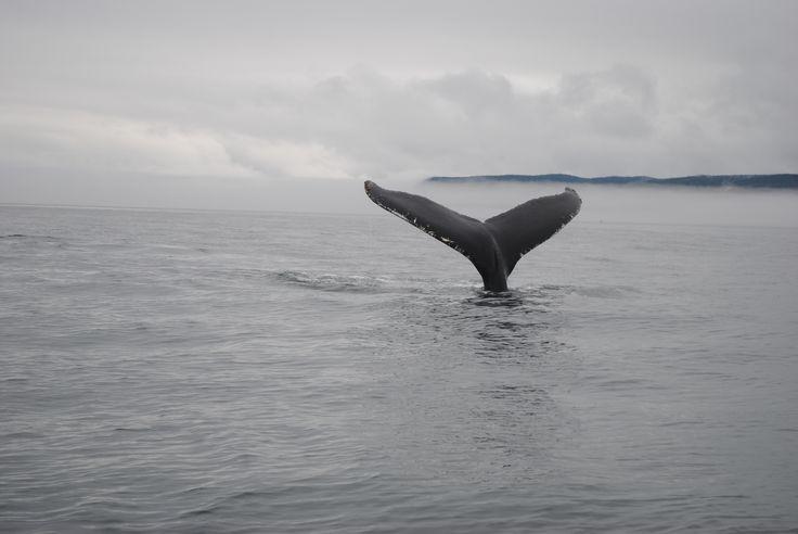 Baleine à bosse (Fleuve Saint Laurent, Québec)