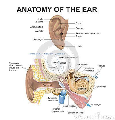 Pinterest'teki 25'den fazla en iyi Middle ear anatomy fikri