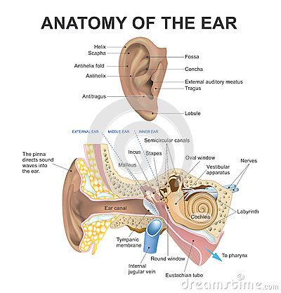 What are the three small bones in the ear?