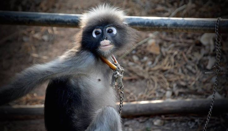 Every year, thousands of Thailand's monkeys are stolen from their homes in the wild and trafficked into the pet trade.