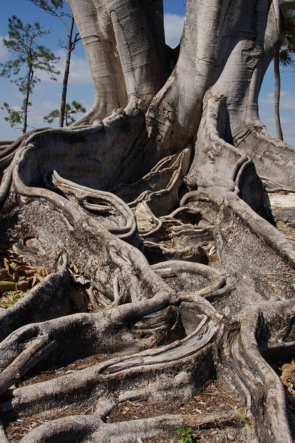 Banyon Tree Root Maze by grfern, via Flickr