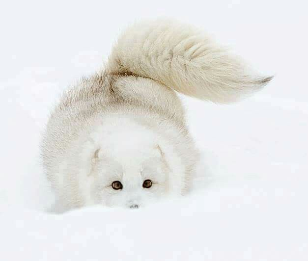 ARCTIC FOX....aka the white fox or snow fox.....found on tundra in Alaska, northern Canada, Greenland, northern Europe and northern Asia....measures 21 - 22 inches long with a 12 inch tail....averages 8.75 lbs.....about the size of a large house cat, making it the smallest wild canid found in Canada...has the warmest pelt of any animal found in the Arctic....can endure temperatures as low as negative 50C....their metabolisms increases to provide extra warmth