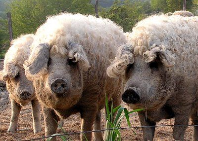 Mangalitsa hogs...wow. higher fat content than Berkshires, but becoming a trendy heritage breed.