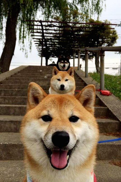 Shiba trio
