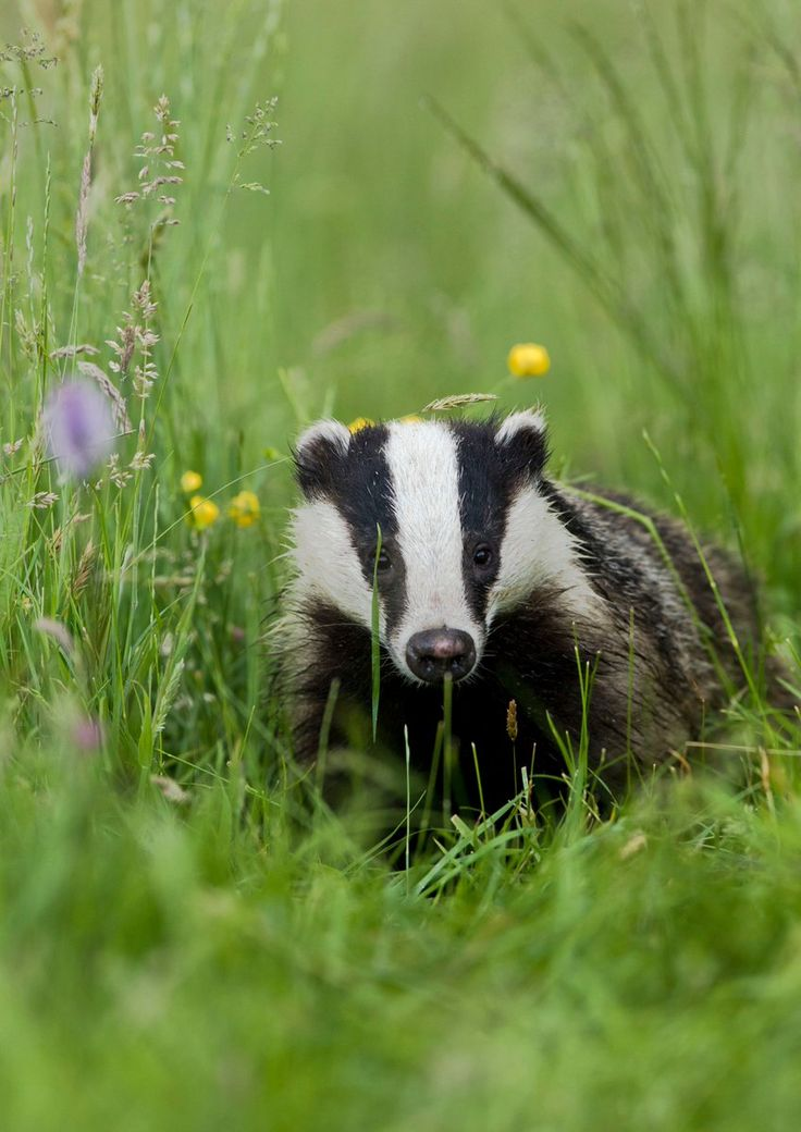 Badger make's his way.....L'Assommoir : Photo