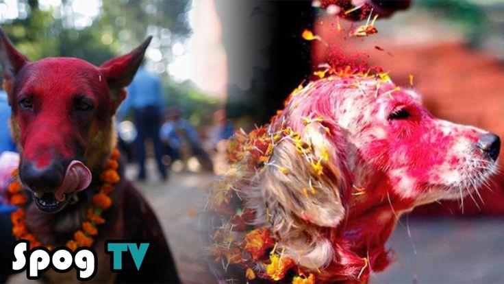 เทศกาล บูชาสุนัข ประเทศเนปาล - Spog TV