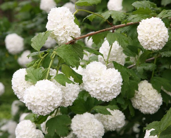 Viburnum opulus 'Roseum': Flowers May and June 4 meters