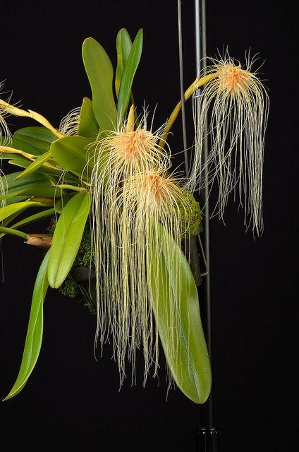 Bulbophylum medusae - Flickr - Photo Sharing!