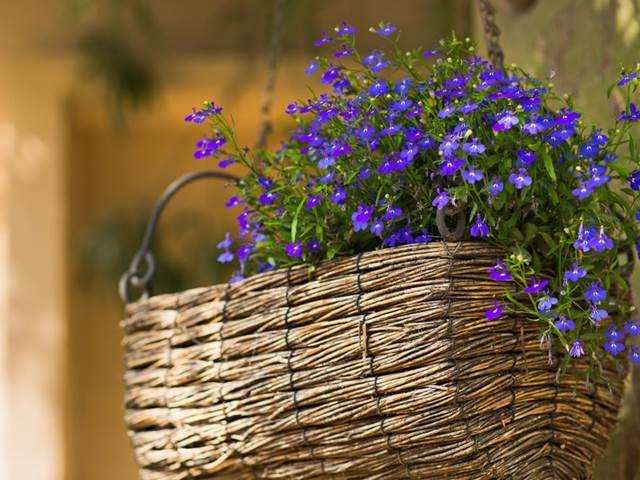 Modre Fialove Nebo Bile Kvety Taky Si Lobelku Ci Lobelii Kazde Leto Vysazujete Do Truhliku Pak Musite Vedet Ze Takhle