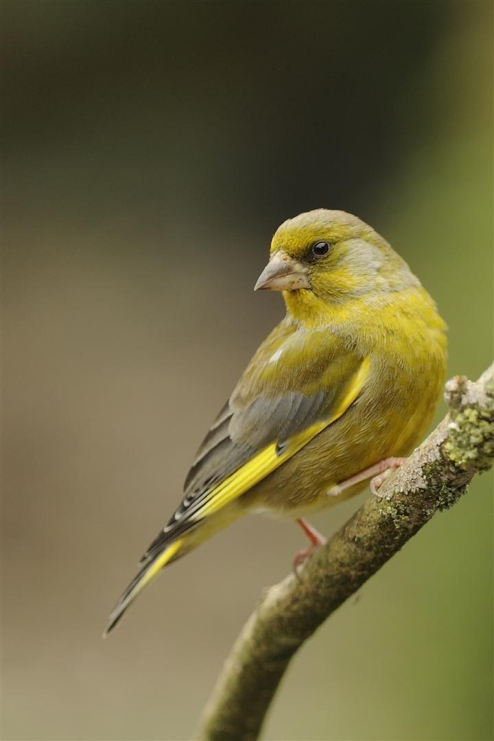 greenfinch                                                       …