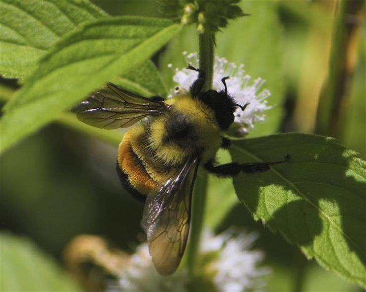 Rusty Patched Bumble Bee Officially Listed As Endangered Rusty patched bumble bee (Bombus affinis). (Credit: Dan Mullen / Creative Commons.)